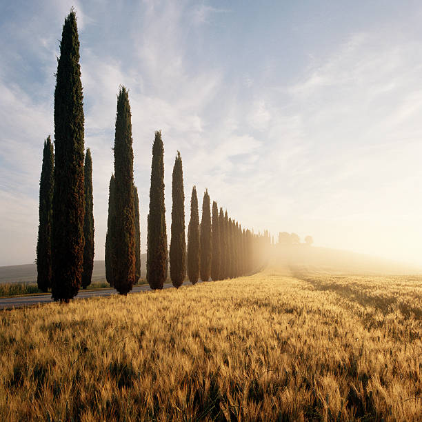 Row of Cypress trees and farmhouse at sunrise