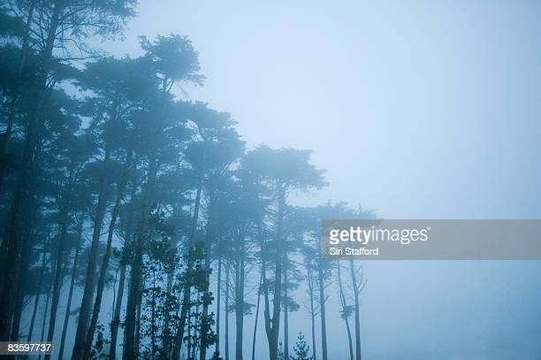 Row of Cypress trees in fog