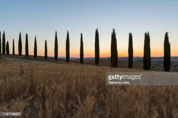 row of cypress trees in the summer at sunrise, monteroni d'arbia, provinz siena, tuscany, italy - italian cypress stock pictures, royalty-free photos & images