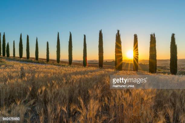 Row of cypress trees in the summer at sunrise, Monteroni d'Arbia, Provinz Siena, Tuscany, Italy
