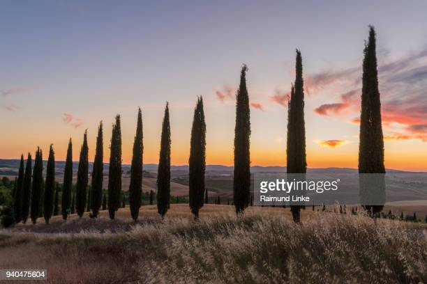 Row of cypress trees in the summer at sunset, Monteroni d'Arbia, Provinz Siena, Tuscany, Italy