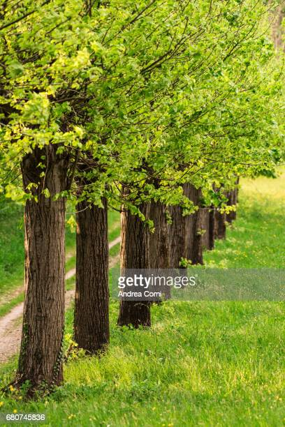 Row of elm trees in spring. Montevecchia, Brianza, Lecco, Lombardy