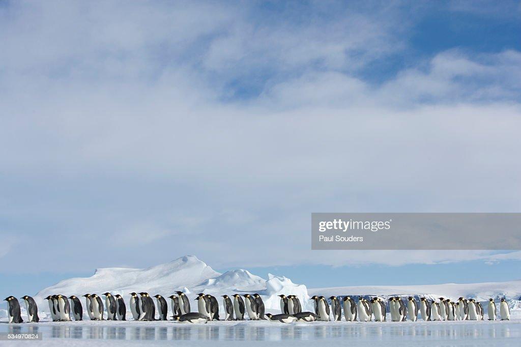 Row of Emperor Penguins in Antarctica : Stock Photo