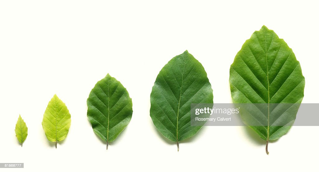 Row of five beech leaves in increasing size. : Stock Photo