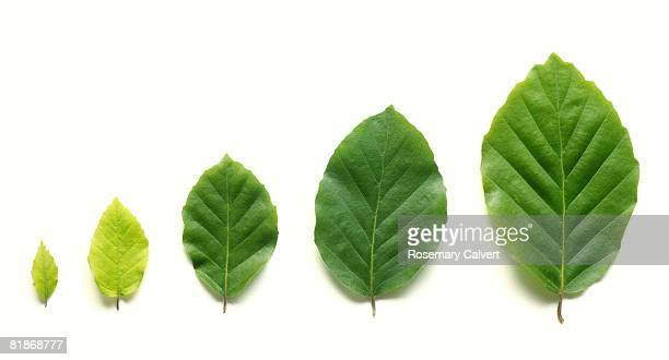 row of five beech leaves in increasing size. - beech tree stock pictures, royalty-free photos & images