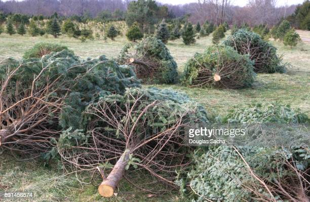 Row of freshly cut Christmas Trees