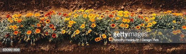 row of gazanias in the santa ynez valley in summer - timothy hearsum stock photos and pictures
