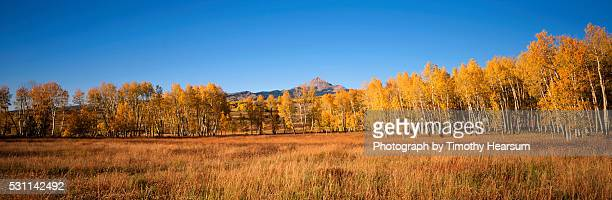 row of golden aspen trees - timothy hearsum stock-fotos und bilder