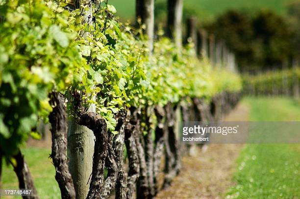 Row of green spring vines fading in background