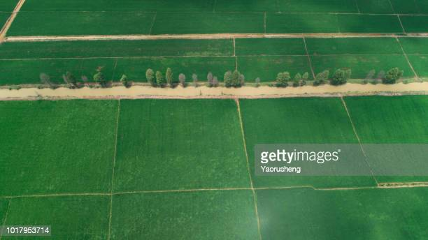 row of green tree growing in rice field,view by drone