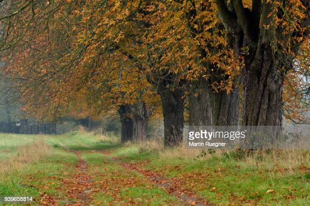 row of horse chestnut trees (aesculus hippocastanum) at dirt track. bohemian switzerland, czech republic, europe. - picture of a buckeye tree stock photos and pictures