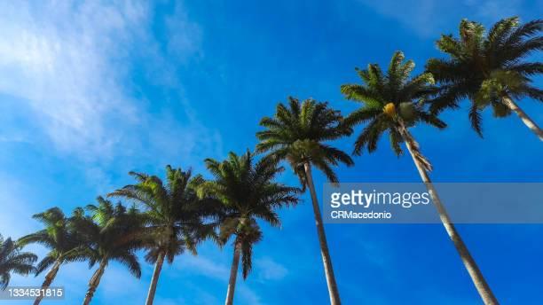 row of imperial palm trees under beautiful blue sky. - crmacedonio stock-fotos und bilder