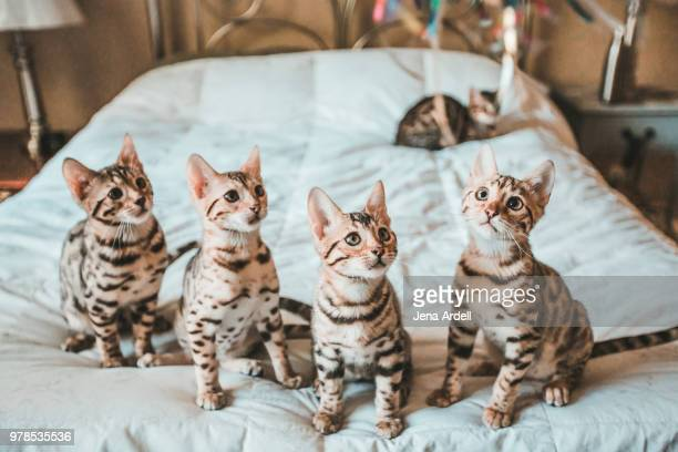 row of kittens, bengal kittens - bengal cat stock pictures, royalty-free photos & images
