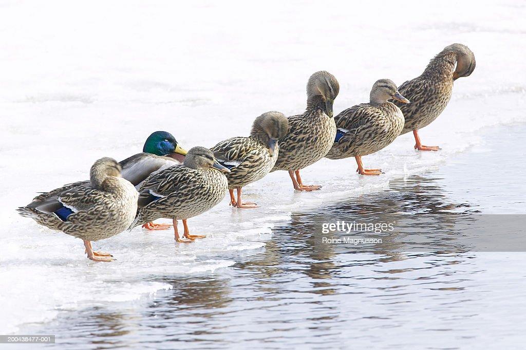 Row of Mallard ducks (Anas Platyrhnchos) standing on ice : Stock Photo