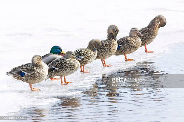 Row of Mallard ducks (Anas Platyrhnchos) standing on ice