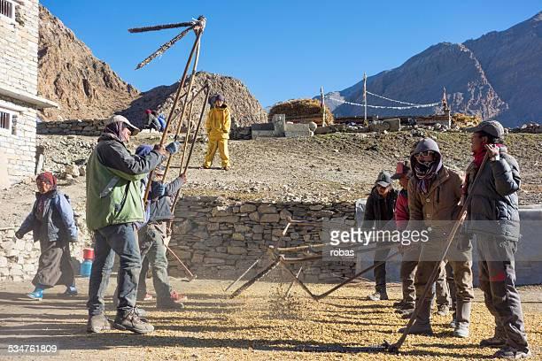 Row of Nepali men threshing grain with a flail