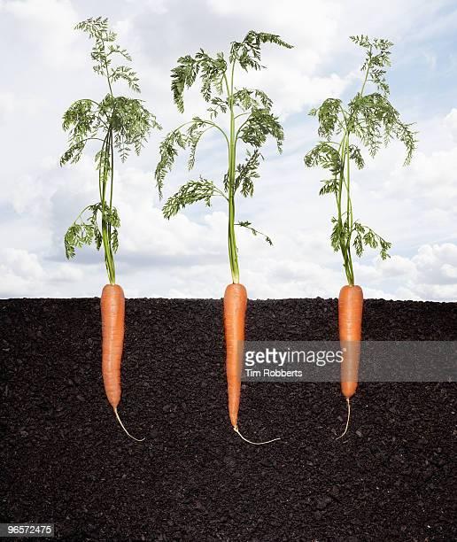 Row of organic carrots growing in soil.