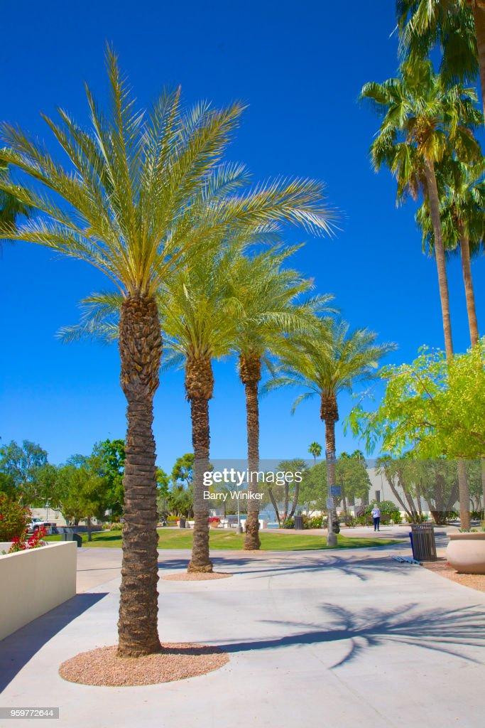Row of palm trees in downtown park, Scottsdale, AZ : Stock-Foto
