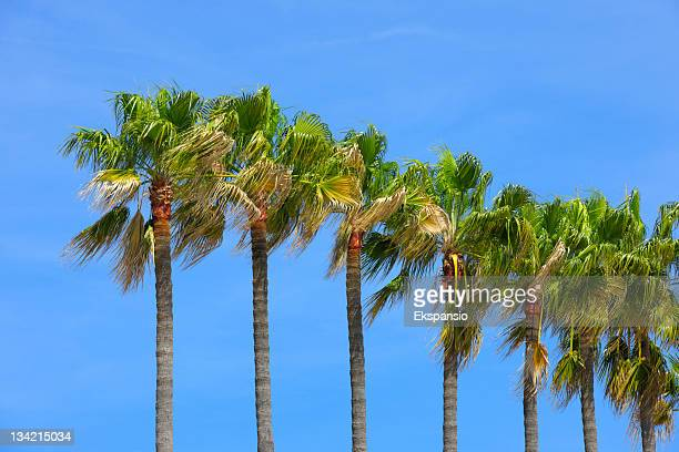 row of palm trees with blue sky - date palm tree stock pictures, royalty-free photos & images