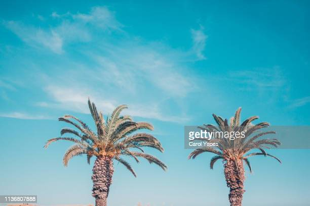 row of palms against blue sky - beverly hills stock pictures, royalty-free photos & images