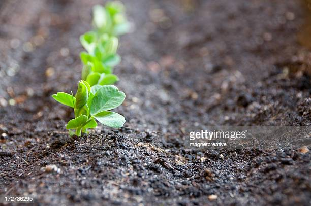 Row of pea seedlings in soil with first seedling in focus