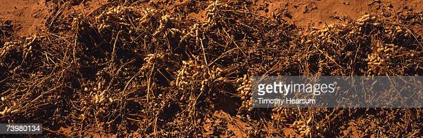 row of peanuts drying and waiting to be harvested, elevated view - timothy hearsum stock photos and pictures