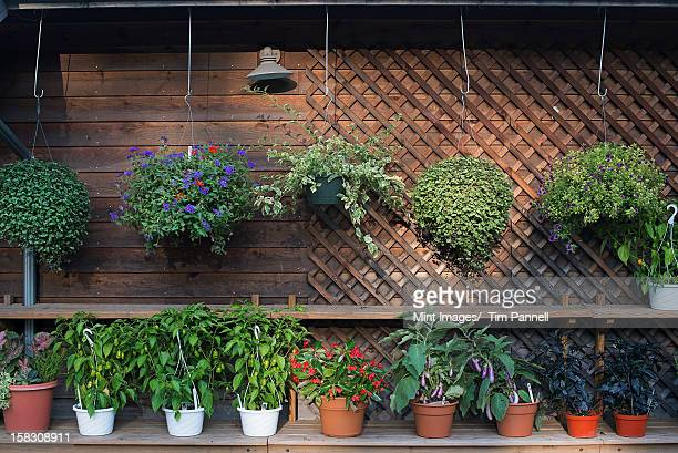 a row of plants against a wall in the potting shed at an organic farm. - hanging basket stock pictures, royalty-free photos & images