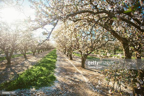 A row of plum trees in California
