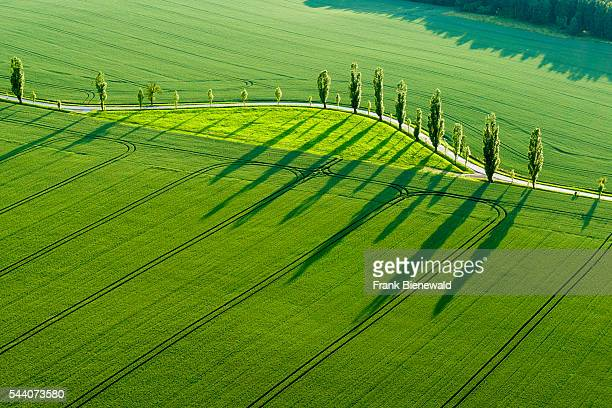 A row of Poplar trees is creating long shadows on a green field in the last light of the day