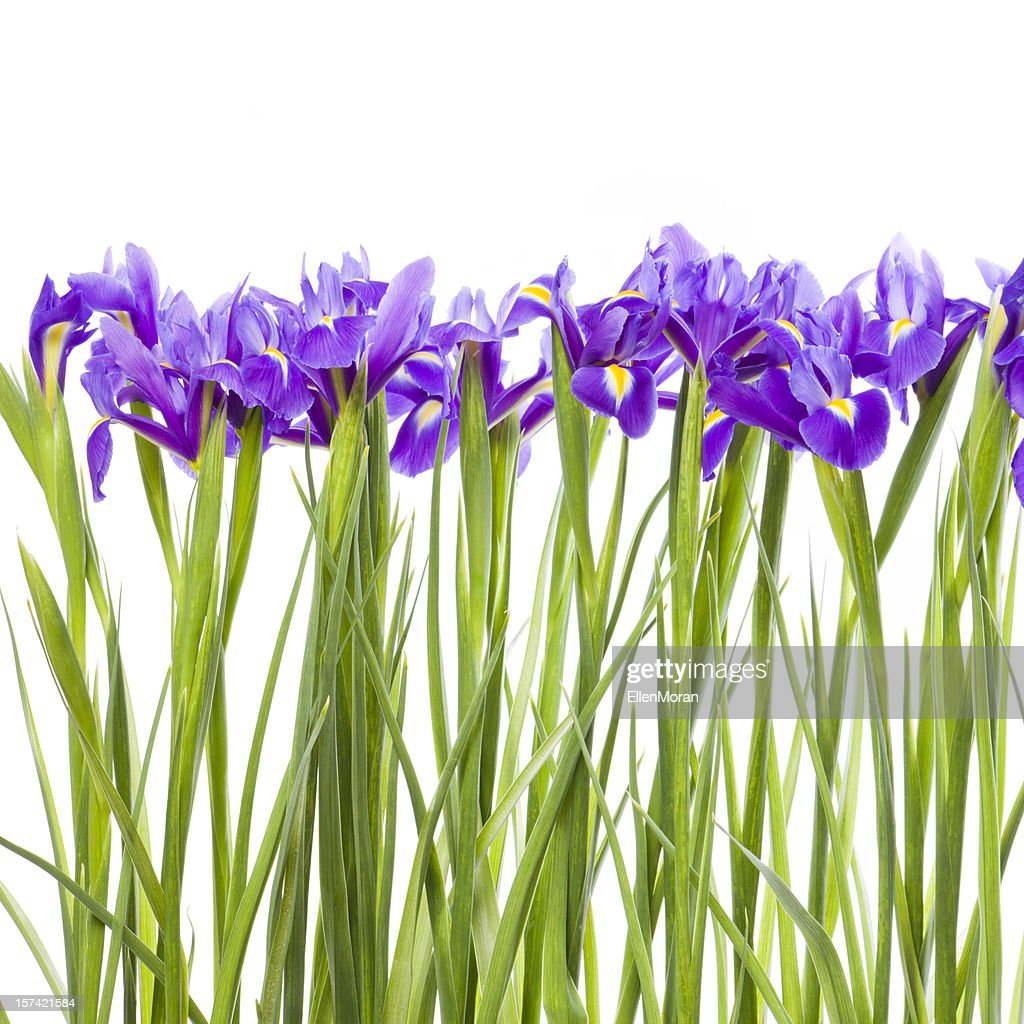 Row of purple iris flowers with green stems over white stock photo row of purple iris flowers with green stems over white stock photo izmirmasajfo Image collections