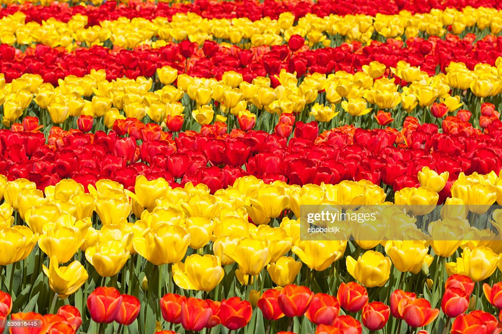 Row of red and yellow of tulips : Stock Photo