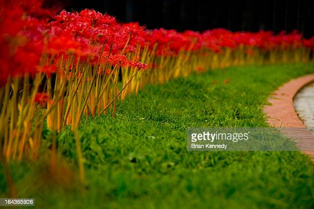 row of red spider lilies - 北九州市 ストックフォトと画像