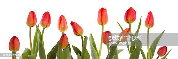 row of red tulips