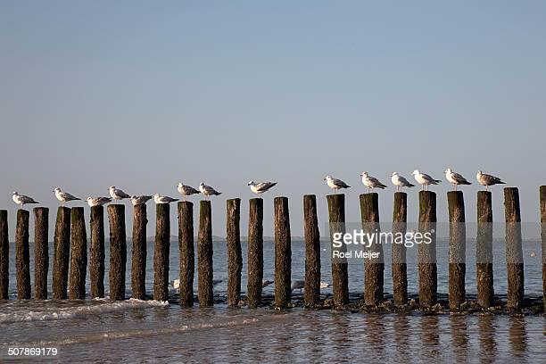 row of seagulls on poles of groin - paal stockfoto's en -beelden