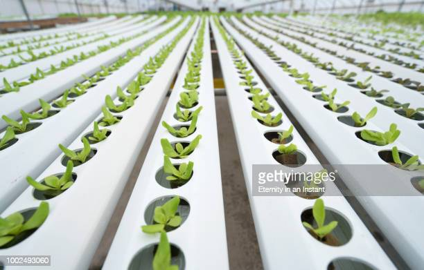Row of seedlings growing in a hydroponic farm