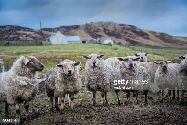 Row of sheep in mountain landscape, Malin Head, Donegal, UK