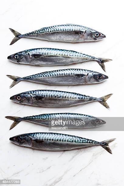 row of six sardines on white marble - sardine foto e immagini stock