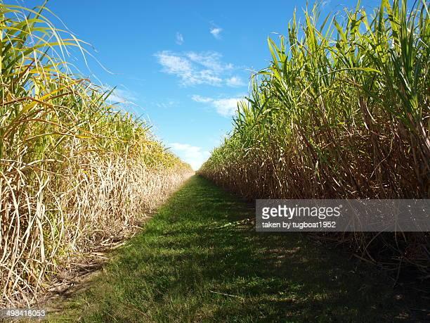 Row of sugar cane growing on farm