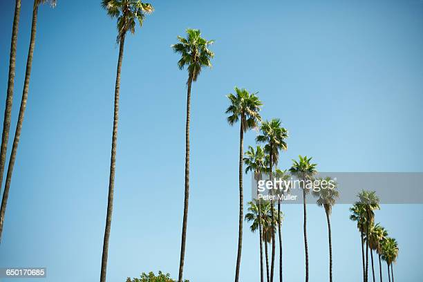 Row of tall palm trees, Los Angeles, USA