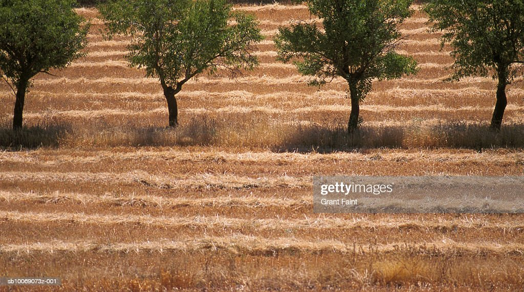 Row of trees in hay field : Stockfoto