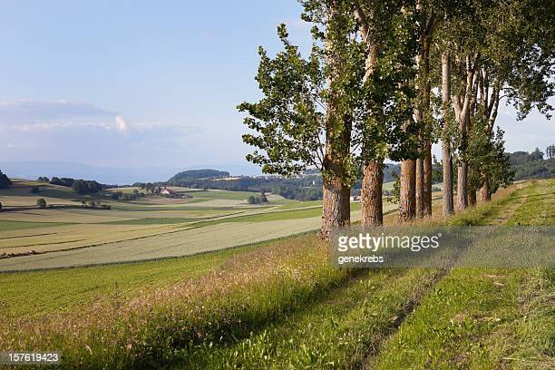 row of trees on a summer evening - vaud canton stock photos and pictures