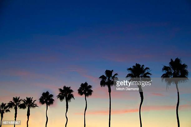 Row of twisted palm trees