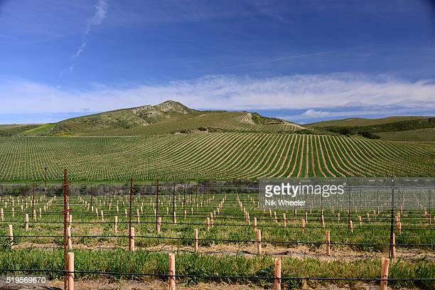 row of vines in vineyards in spring season near Santa Maria in santa Barbara County in California, USA
