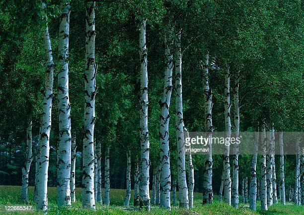 Row of White Birch