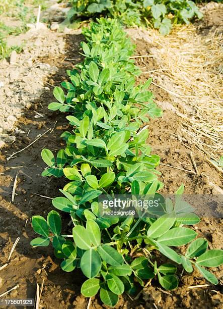 Rangée de jeunes plantes de cacahuètes