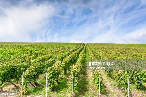 Row vine grape in champagne vineyards at montagne de reims, France