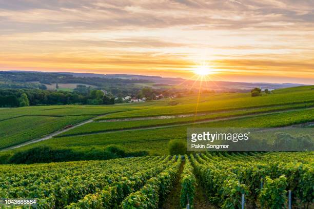 row vine grape in champagne vineyards at montagne de reims - france stock pictures, royalty-free photos & images