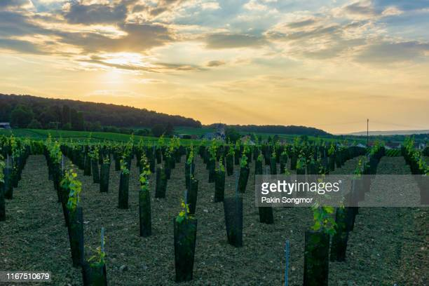 row vine grape in champagne vineyards at montagne de reims - エペルネ ストックフォトと画像