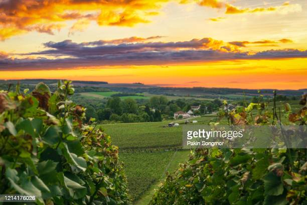 row vine grape in champagne vineyards at montagne de reims - マルヌ県 ストックフォトと画像