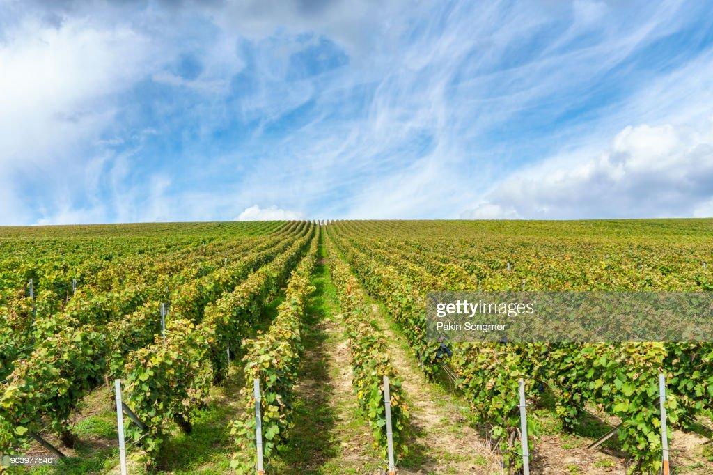 Row vine grape in champagne vineyards at montagne de reims : Stock Photo